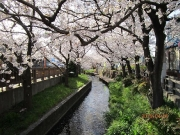 入学式を祝うかのように咲き誇る二ケ領用水宿河原の満開の桜